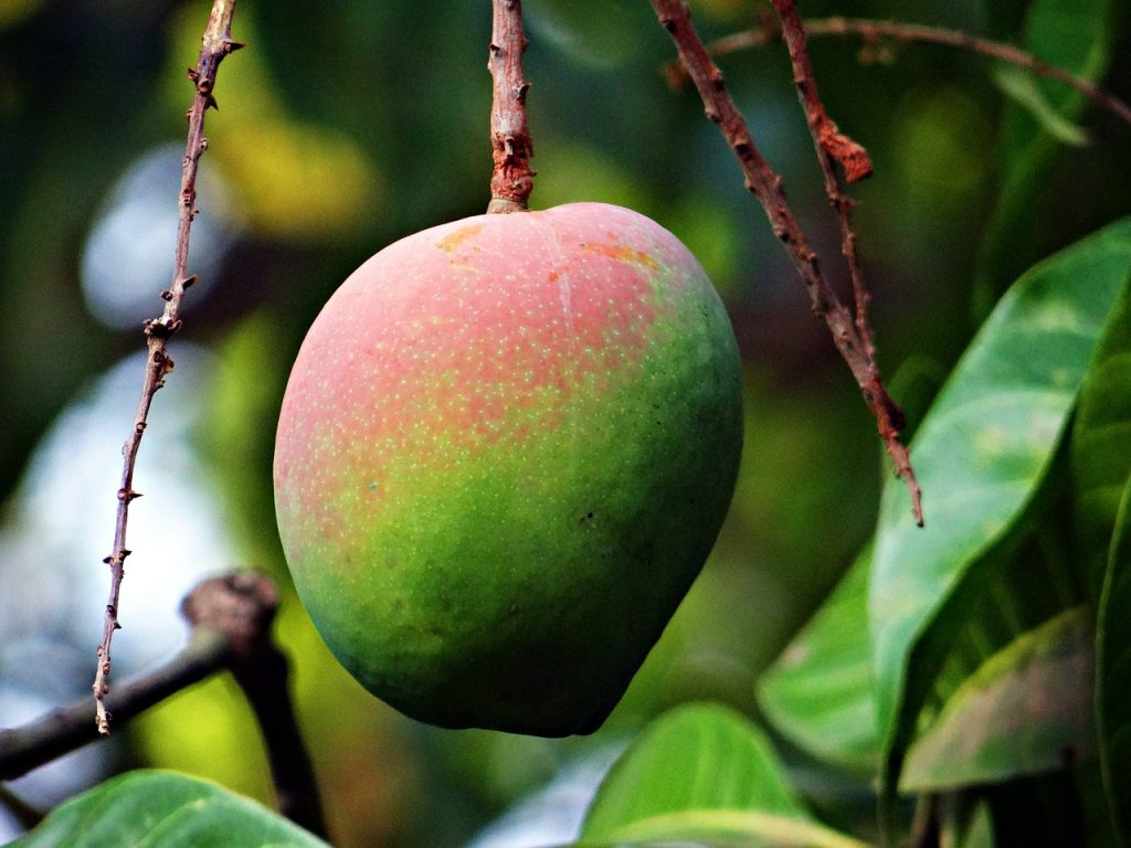 Know-How Mango will improve your health-Ripe mango