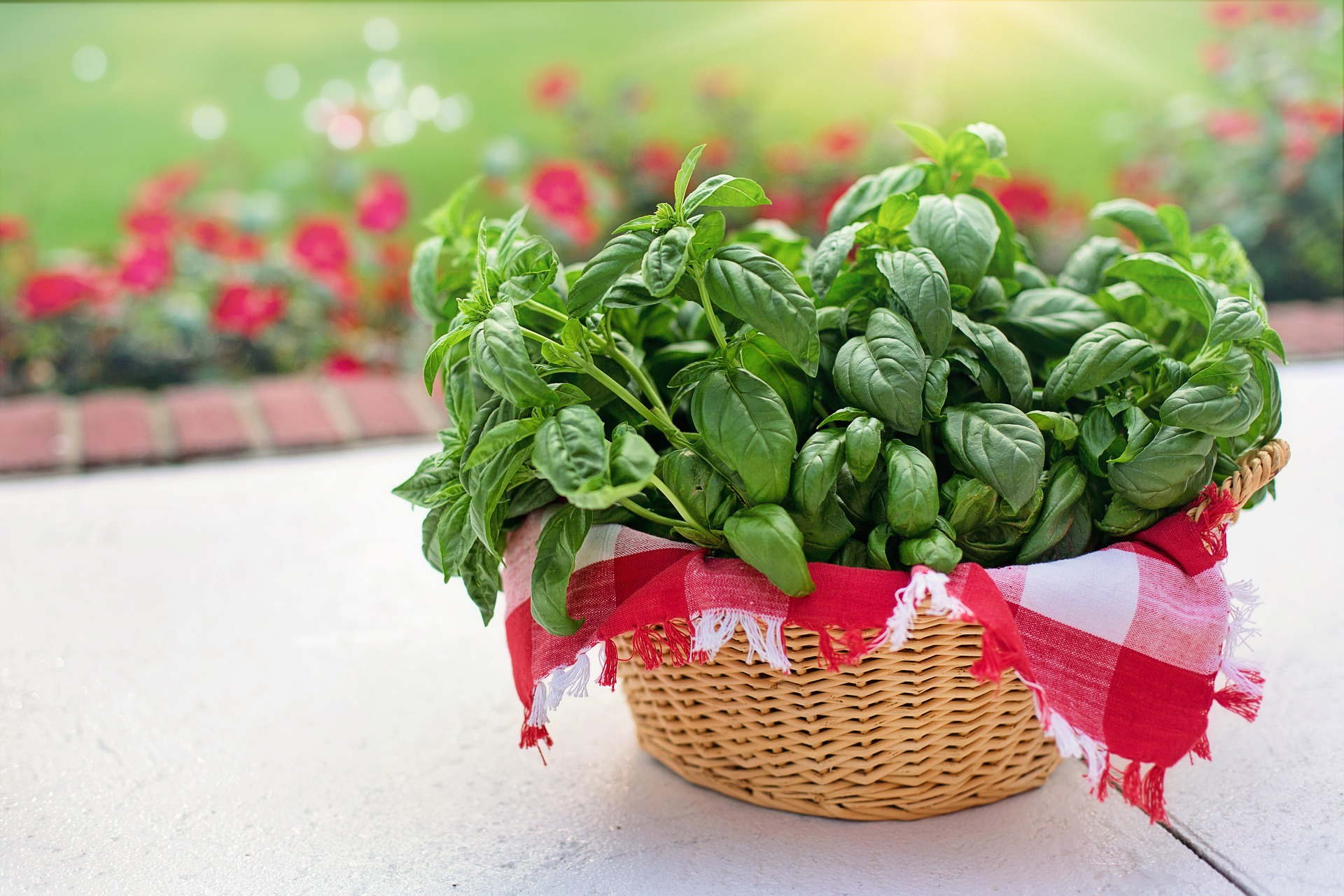 Basil uses, benefits, and nutrition